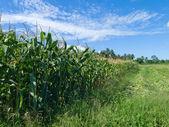 饲料玉米的种植 — 图库照片