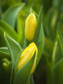 Mild two yellow tulip — Stock Photo