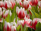 White and Red Tulip — Stock Photo