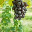 Purple grapes in the garden - 图库照片