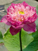 Big pink lotus — Stock Photo