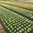 Field of salads — Stockfoto #19533977