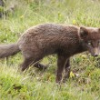 Arctic fox — Stockfoto #32288703