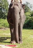 Elephant — Stock Photo