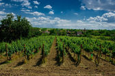 A vineyard. — Stock Photo