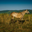 Stock Photo: Horse on pasture.