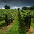 Stock Photo: Vineyard.