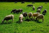 Sheep on pasture. — Stock Photo