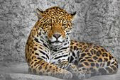 Jaguar (Panthera onca), cat in a cage, photography through the bars — Stock Photo