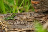 Sand lizard (Lacerta agilis), male and female in mating colors — Stock Photo