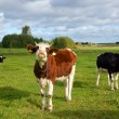 Cows, three cows on pasture — Stock Photo #35754359