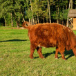Cows, red Highland cattle (Scottish Gaelic) on the pasture — Stock Photo