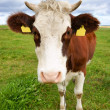Cow on pasture, portrait — Stock Photo
