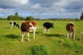 Cows, four cows on pasture and in different colors — Stock Photo