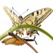 Old World Swallowtail (Papilio machaon) butterfly perched on a branch next to the cocoon from which they hatched, all on a white background — Stock Photo
