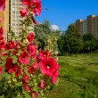 Stock Photo: Hollyhocks (Alcea) growing on lawn of housing estate