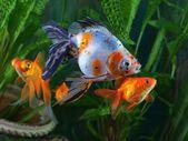 Goldfish, aquarium, a group of fish on the background of aquatic plants — Stock Photo