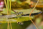 Grass Snake (Natrix natrix) on the leaves of Water Lilies and an insect on the head — Stock Photo