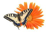 Old World Swallowtail (Papilio machaon) butterfly — Stock Photo
