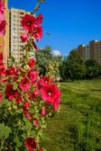 Hollyhocks (Alcea) growing on the lawn of a housing estate — Stock Photo