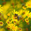 Honey bee (Apis) on yellow flowers as background — Stock Photo