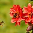 Stock Photo: Bee (Apis) in flight and Bumblebee on flower Dahlia