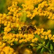 Bee (Apis) collecting pollen on yellow flowers — Stock Photo