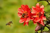 Bee (Apis) in flight and Bumblebee on a flower Dahlia — Stock Photo