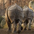 Indian rhinoceros (Rhinoceros unicornis), rear view — Stock Photo