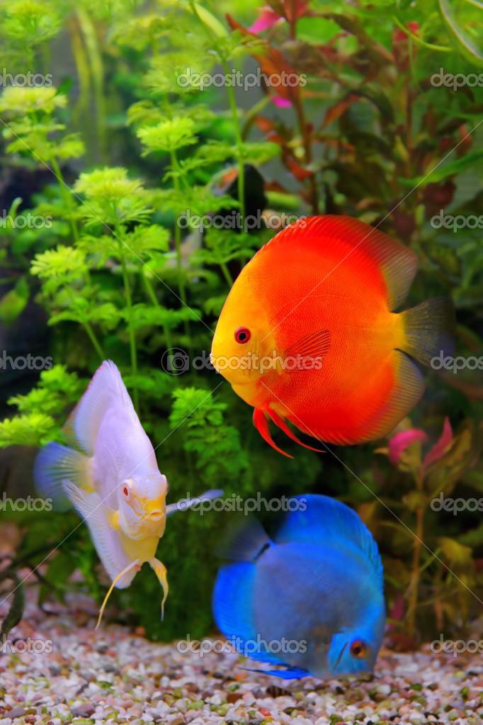 discus symphysodon les cichlid 233 s multicolores dans l