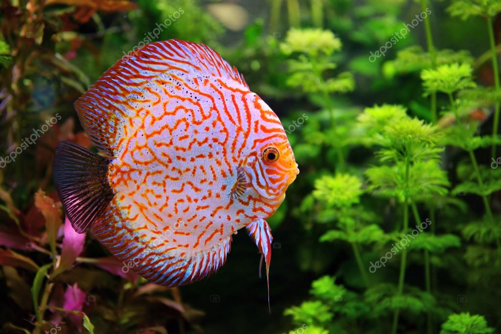 Cichlids, Fish and Discus on Pinterest