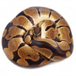 Python regius on white background, it is also known as royal python or ball python — Stock Photo