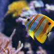 Copperband Butterflyfish (Chelmon rostratus), fish — Stock Photo