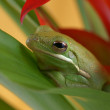 Tree frog (Litoria infrafrenata) — Stock Photo