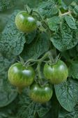 Tomatoes, green, immature, growing on a twig — Stock Photo