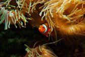 Clown Fish (Amphiprion ocellaris) — Stock Photo