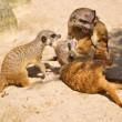 Meerkat or Suricate (Suricata suricatta) — Stock Photo #35918111