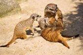 Meerkat or Suricate (Suricata suricatta) — Stock Photo