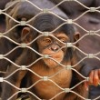 Stock Photo: Chimpanzee (Pan troglodytes) sorrowful baby monkey in a cage