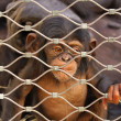 Stock Photo: Chimpanzee (Ptroglodytes) sorrowful baby monkey in cage