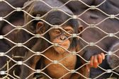 Chimpanzee (Pan troglodytes) sorrowful baby monkey in a cage — Stock Photo