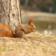 Red Squirrel (Sciurus vulgaris) eaten walnut — Stock Photo
