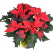 Pretty spurge, poinsettia, star of Bethlehem (Euphorbia pulcherrima) — Stock Photo