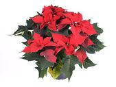Pretty spurge, poinsettia, star of Bethlehem (Euphorbia pulcherrima) — Stock Photo