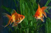 Goldfish, aquarium, a fish on the background of aquatic plants — Stock Photo