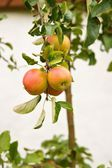 Apples, fruit on a tree branch in an orchard, wall of the house in the background — Stock Photo