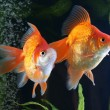 Goldfish, aquarium, a fish on the background of aquatic plants — Stock Photo