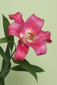 Pink lily, flower — Stock fotografie