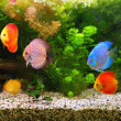 Discus (Symphysodon), multi-colored cichlids in the aquarium, the freshwater fish native to the Amazon River basin — Stock Photo #38614613