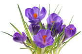 Crocus, flowers on a white background — Stock Photo